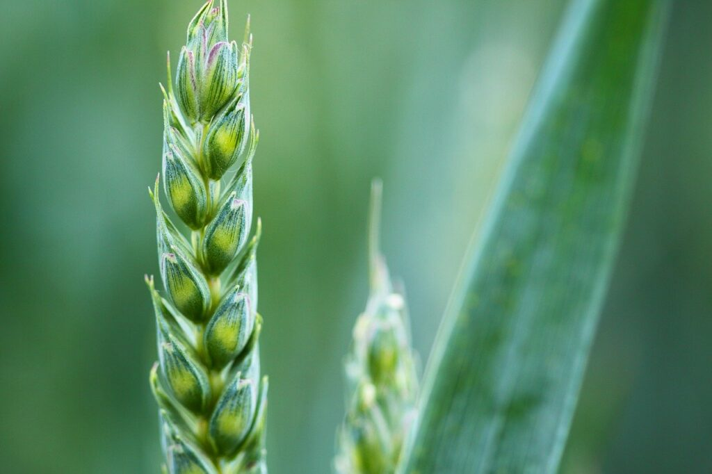 spiga di grano in agricoltura biologica